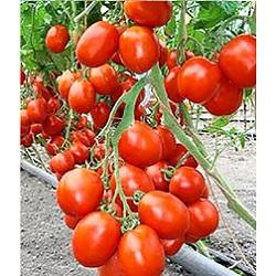 бенито описание томат фото