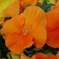 fialka-tsello-f1-nasicheno-oranzheva