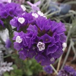 kermek-qis-purpurovij