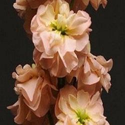 matiola-kolumn-abrikosova
