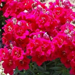 fioletovyj-tvini